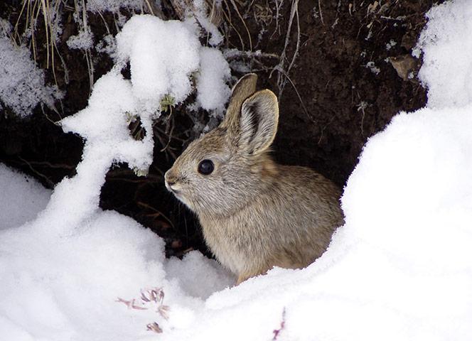 Pygmy Bunny in Snow