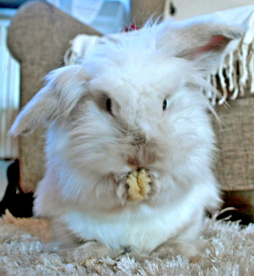Fuzzy Bunny in Mid-Wash