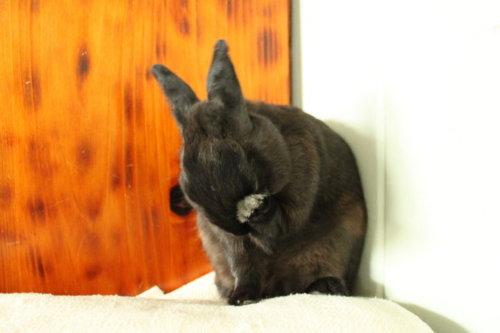 Bunny Facepalm