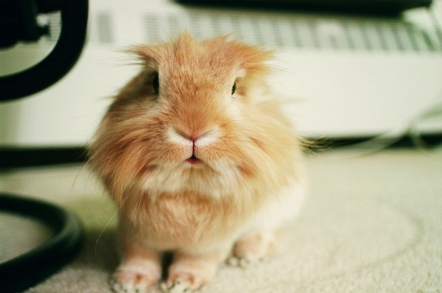 Cute Lionhead is Cute