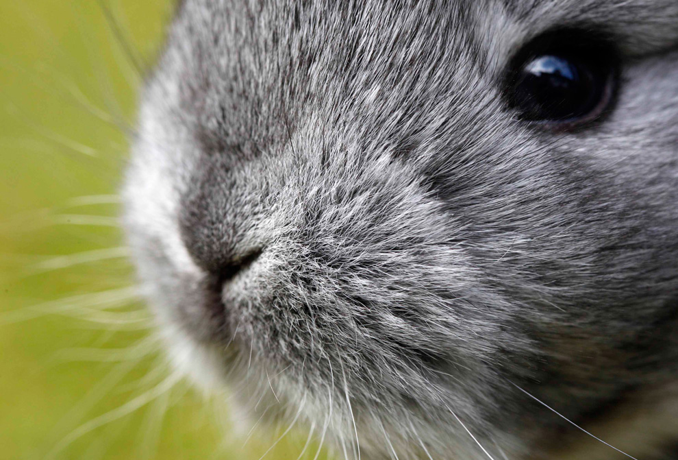 Chinchilla Bunny Closeup