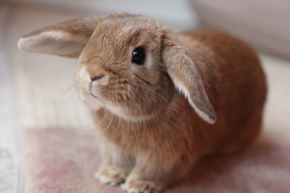 Closeup of Little Lop