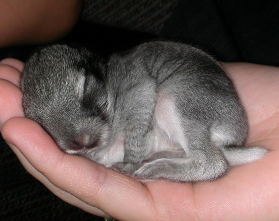 Baby Bunny Naps in Palm of Hand