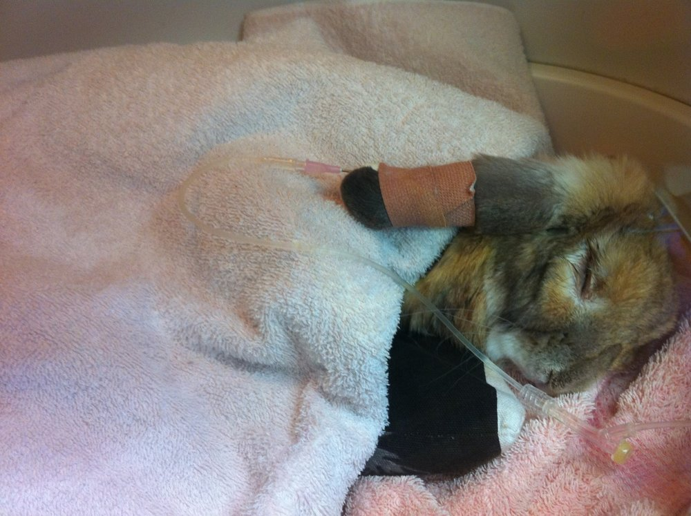 Bunny in Intensive Care