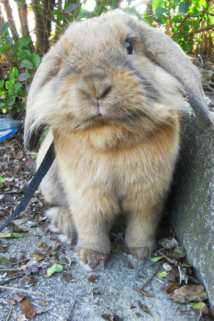 Lionhead Bunny Looks Contemplative