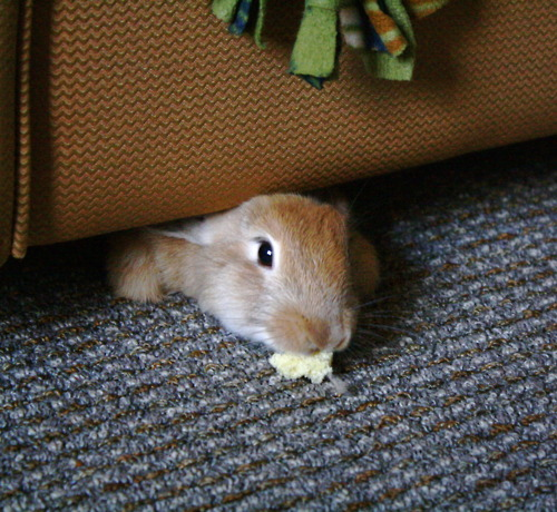 Bunny Will Come Out from under the Chair Just Enough for a Treat