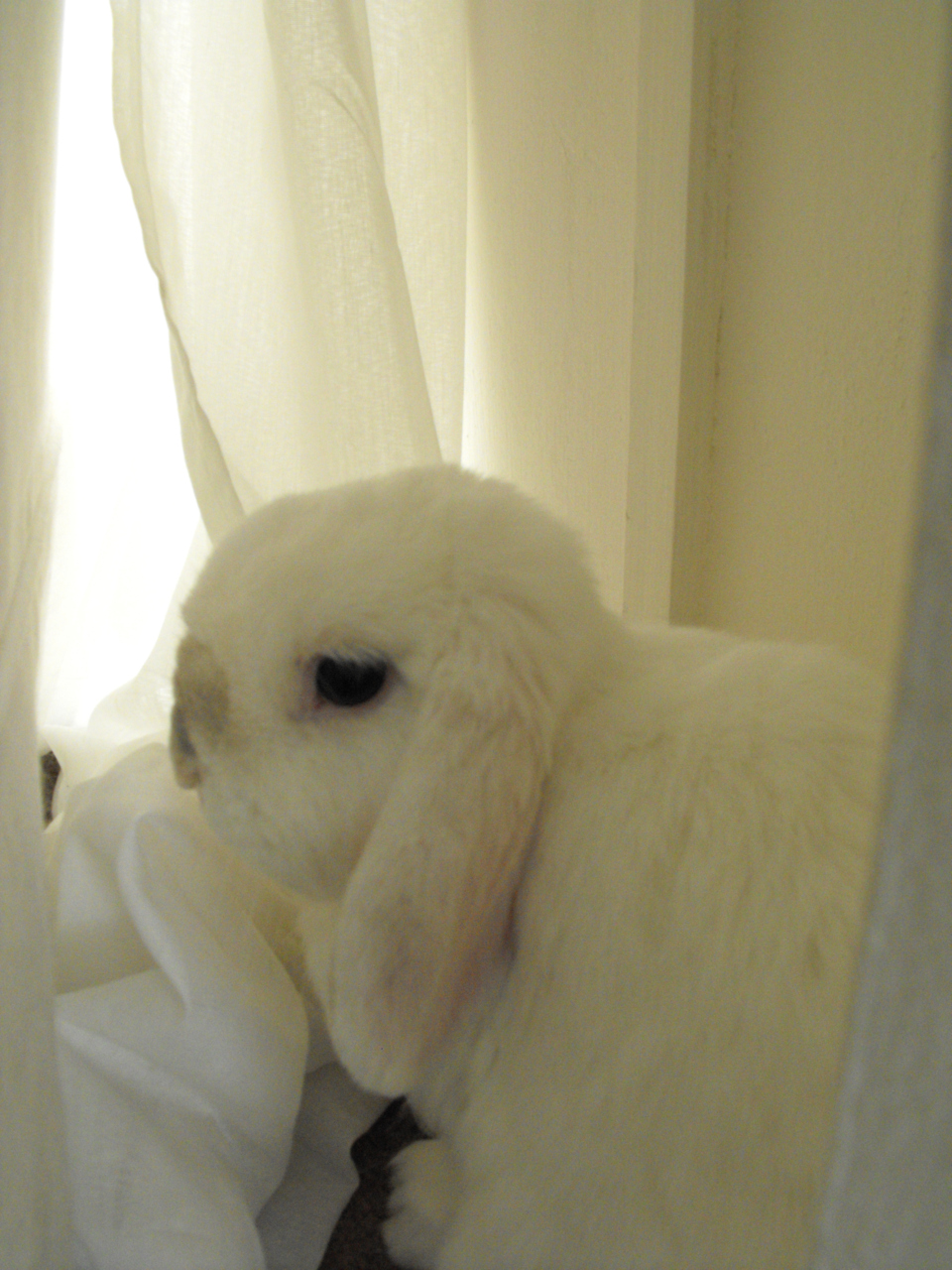 Bunny Gazes Wistfully Out the Window