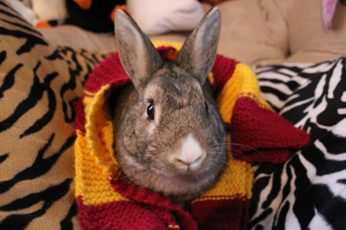 Gryffindor Bunny Puts on Her Scarf for the Harry Potter Movie