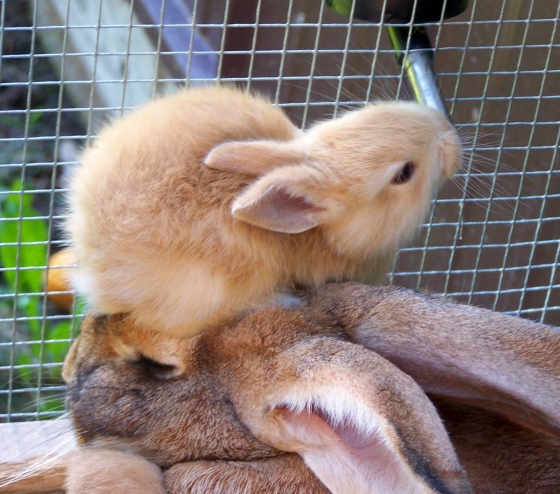 Baby Bunny Uses Mother's Head as a Stepstool