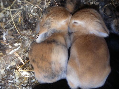 Baby Bunnies Nap Together