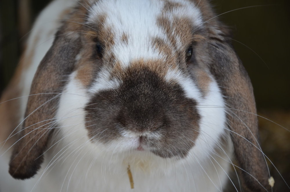 Closeup of Lop's Cute Face