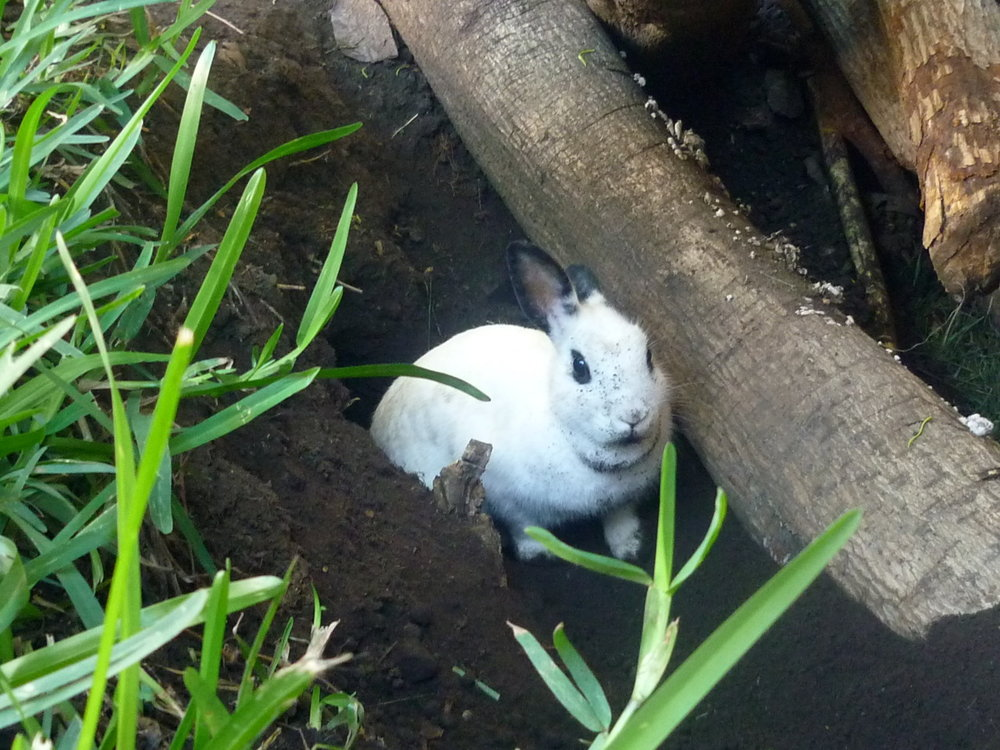 Robber Bunny Digs a Getaway Hole But Is Caught in the Act!