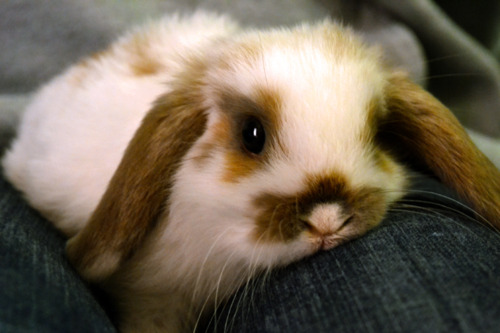 Bunny Rests on Owner's Lap