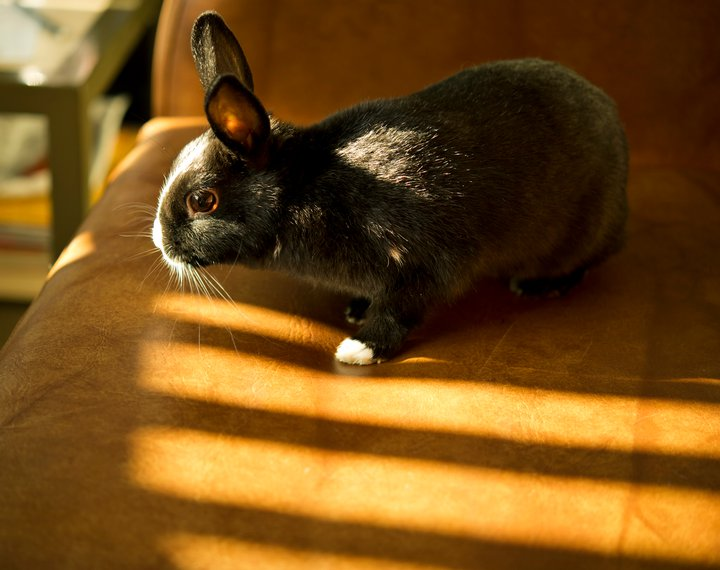 Bunny Examines the Sofa for the Best Place to Sit