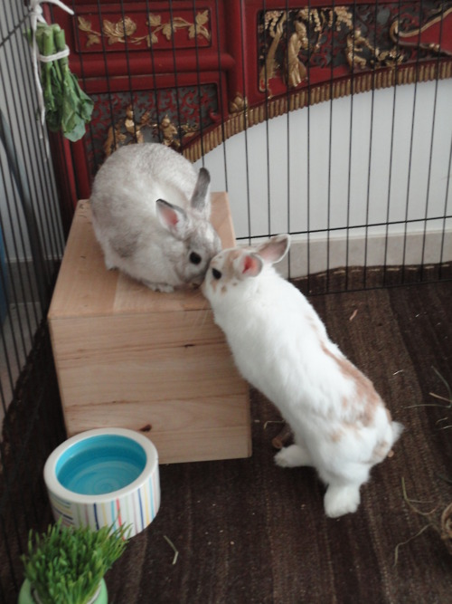 Romeo and Juliet Bunnies Act Out the Balcony Scene