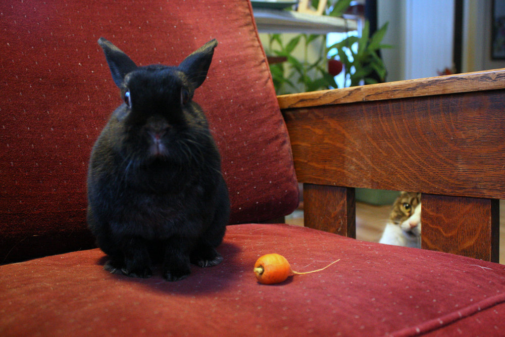 Kitty Is In Awe of Bunny's Ability to Manipulate Hoomins into Giving Her a Throne and a Treat