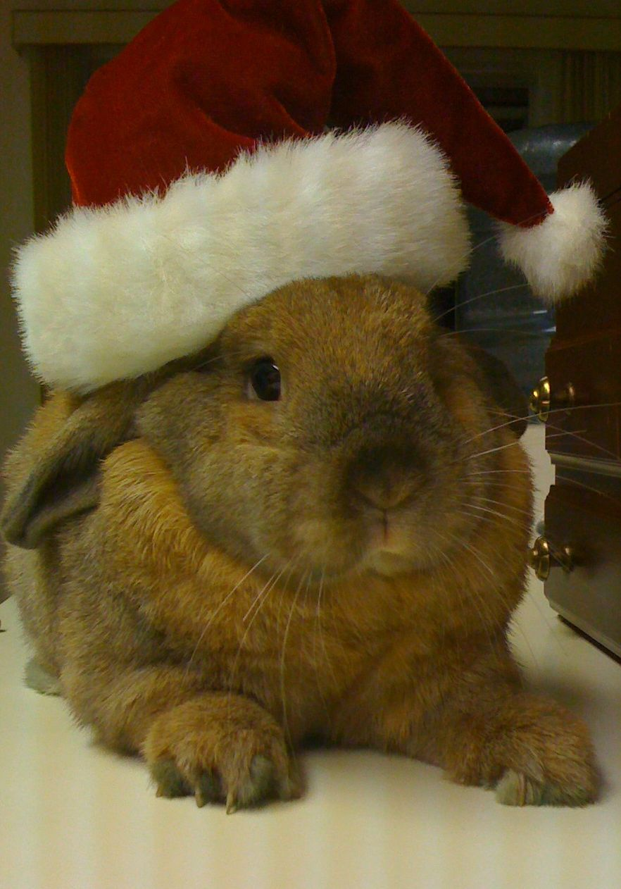 Santa Bunny Takes a Rest After All Those Treats