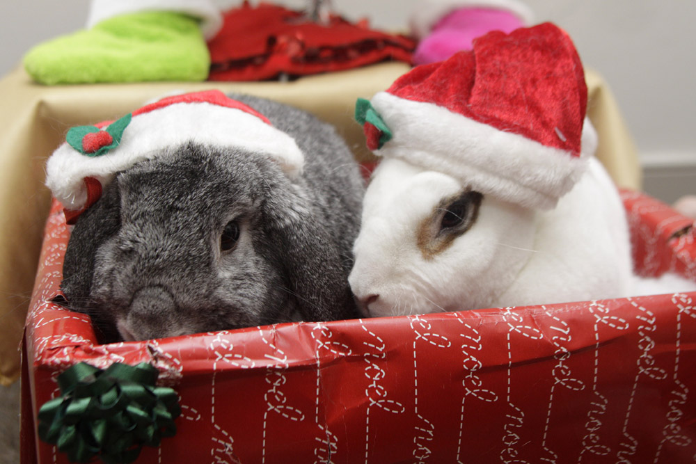 Santa Bunnies Decide to Stay After Delivering Presents