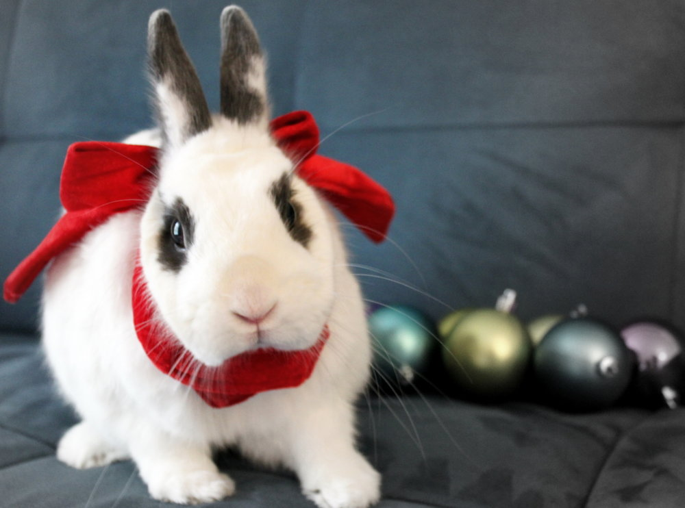 Bunny's Holiday Photo Shoot 1