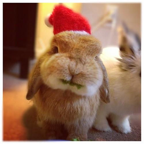 Santa Bunny Messily Noms the Treats Left for Him