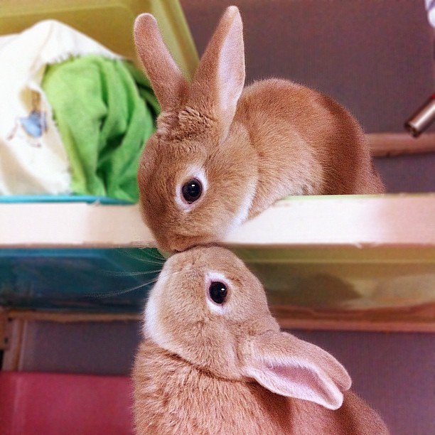 Bunnies Share a Kiss