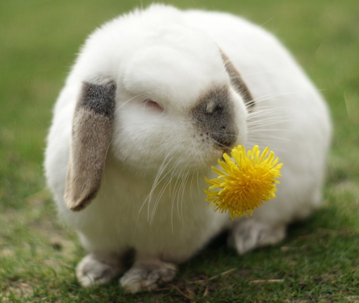 Bunny Happily Nibbles a Dandelion