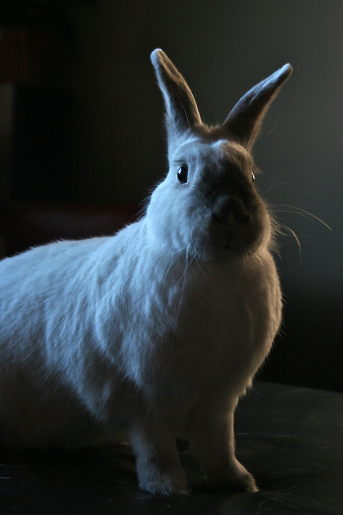 Rabbit at Attention