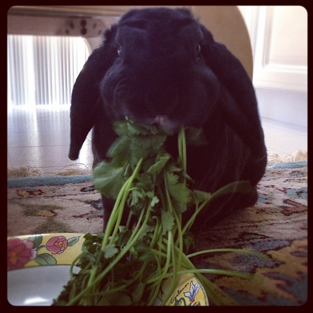 Bunny Has a Mouthful of Cilantro