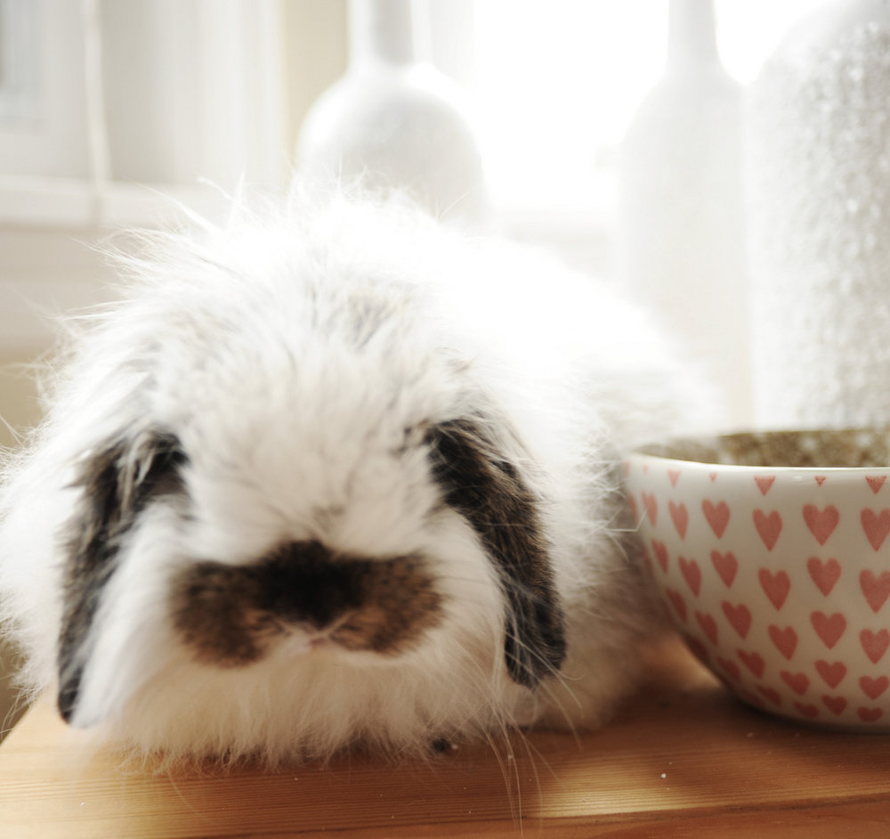 Fuzzy Bunny Cozies Herself among the Tableware