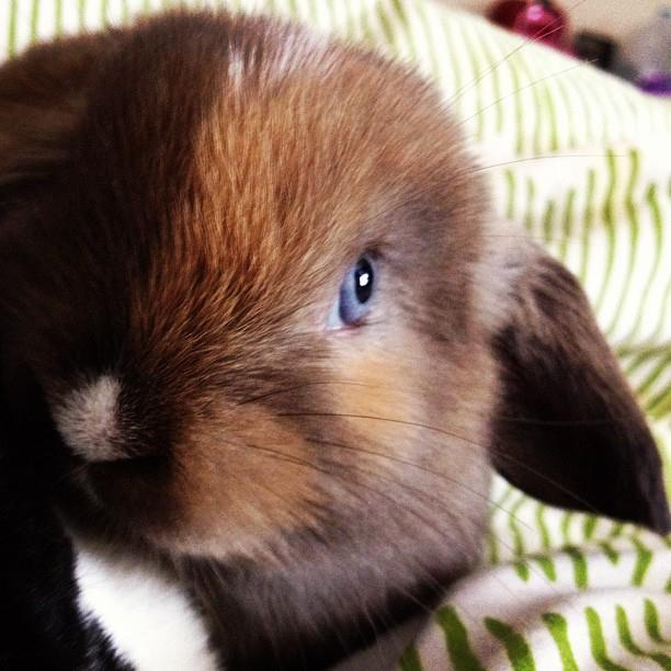 Brown-Haired Blue-Eyed Bunny