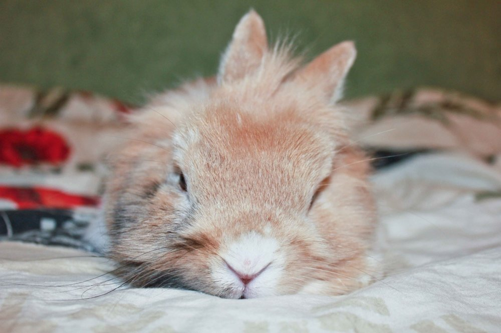Tired Bunny Does Not Want to Get Up