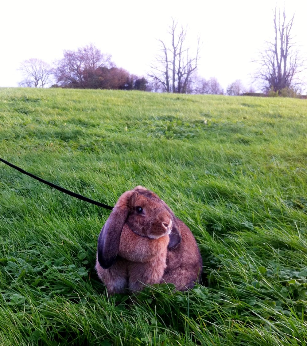 Bunny Roams the Irish Countryside