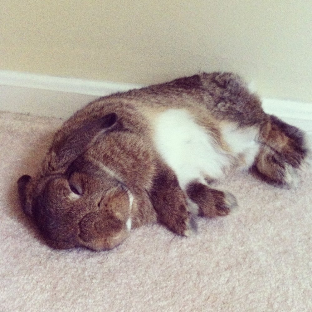 Bunny Sleeps in a Flop Position