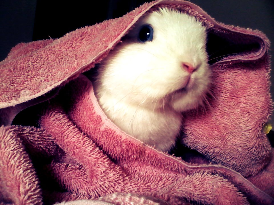 Bunny Peeks Out from Under a Towel