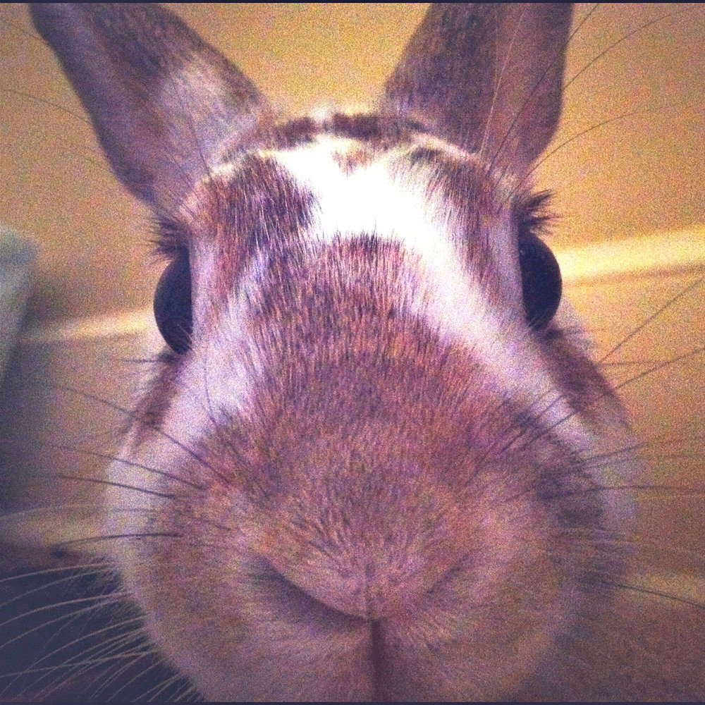 Closeup of a Curious Bunny