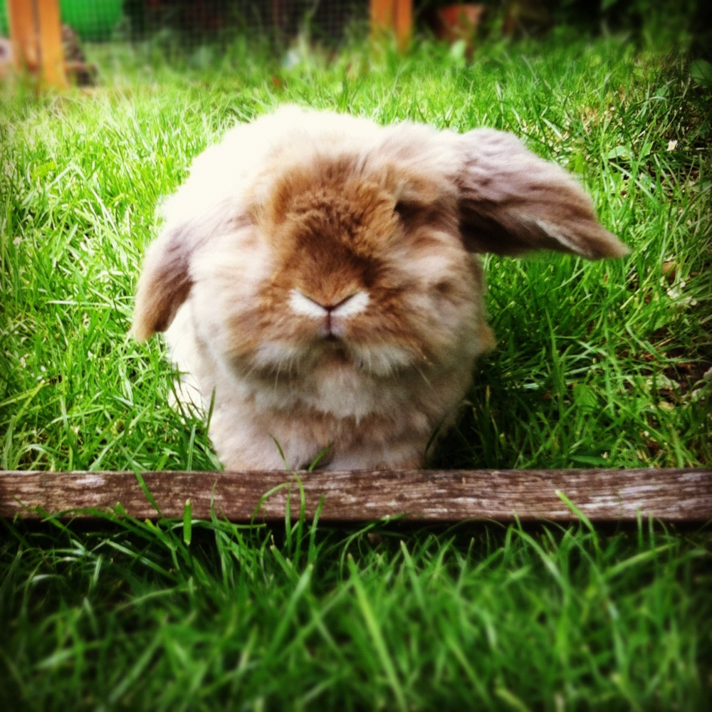 Fluffy Bunny in the Fluffy Grass