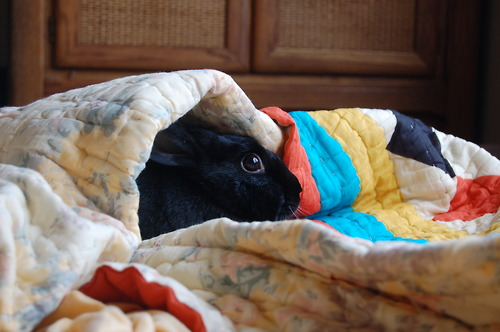 Bunny Hides under the Covers