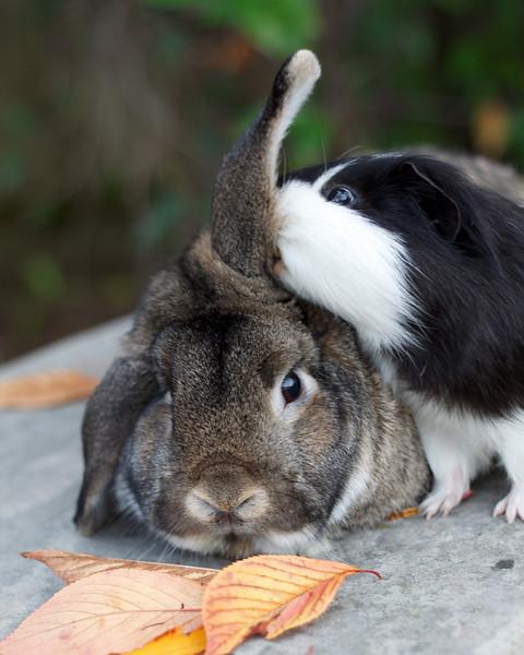 Patient Bunny Guinea Pig-Sits 2