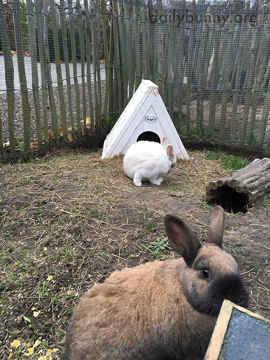 Bunnies Hang Out in Their Outdoor Pen 1