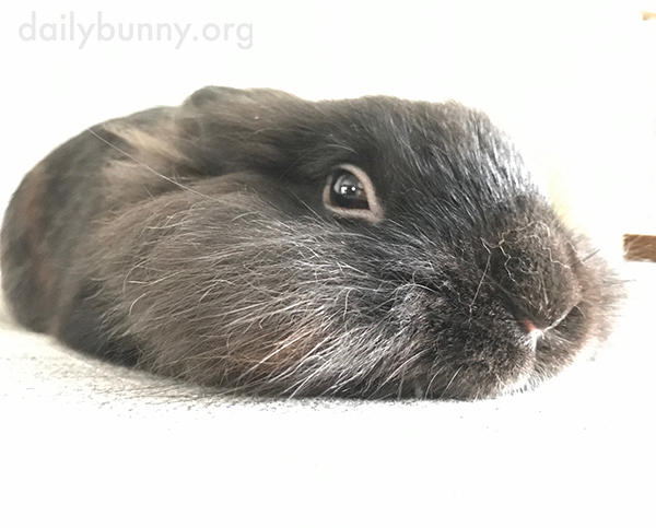 Bunny Flattens Out for Maximum Relaxation During a Petting Session