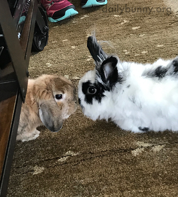 Bunnies Go in for a Nose Boop