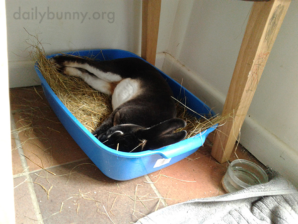 Bunny Stretches Out for a Nap in His Litterbox