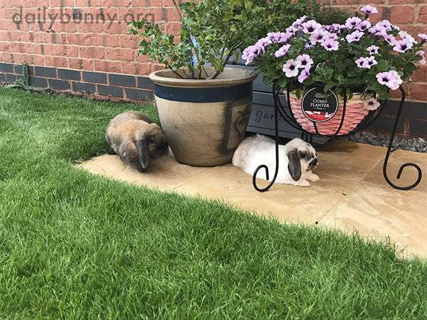 Bunnies Stick Near the Herb Garden, Maybe to Have a Nibble When Human Isn't Looking 3