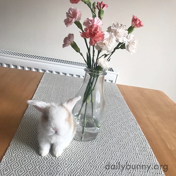 Tiny Bunny Looks Even Tinier on the Kitchen Table 1