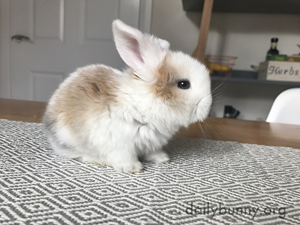Tiny Bunny Looks Even Tinier on the Kitchen Table 2