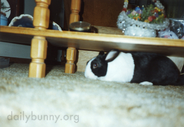 Bunny Is Just Small Enough to Get Under that Table