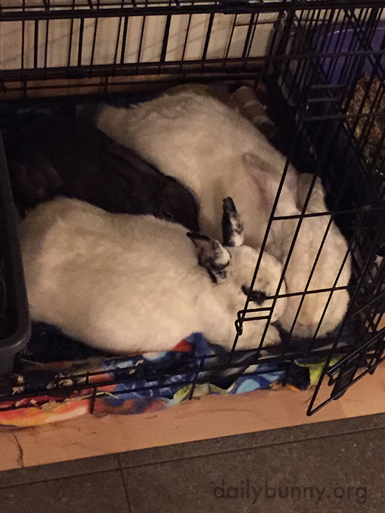 Smaller Bunny Tries to Nose in Between Two Larger Napping Bunnies
