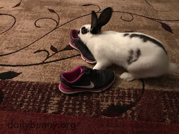 Bunny Acts Natural Before Attacking Human's Shoes 2