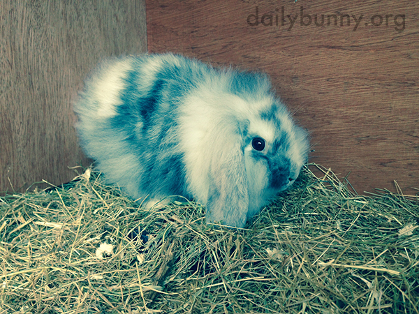 Tiny Bunny Is in a Sea of Hay
