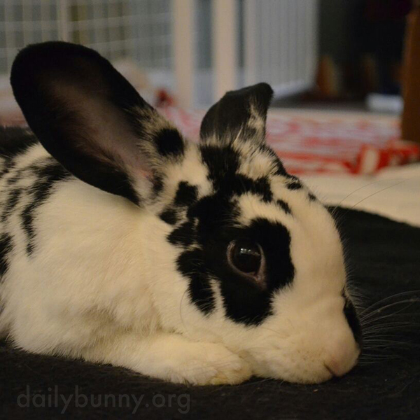 Bunny Puts His Head Down, Ready to Receive Pets